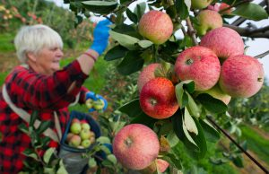 A seasonal worker from Poland crops apples on July 31, 2012 at the Obsthof Herzberg farm in Frankfurt/Oder, eastern Germany, near the Polish border.      AFP PHOTO / PATRICK PLEUL        (Photo credit should read PATRICK PLEUL/AFP/GettyImages)